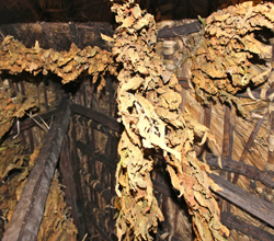 Tobacco hangs from Mr. Silma's thatched ceiling.