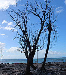 Scorched tree.