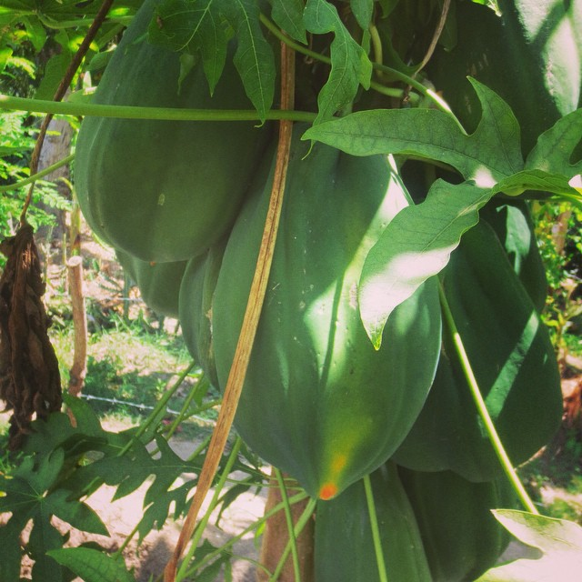 The #papaya plants in our garden are growing and growing! the students are going to be excited to have this in their school lunch!