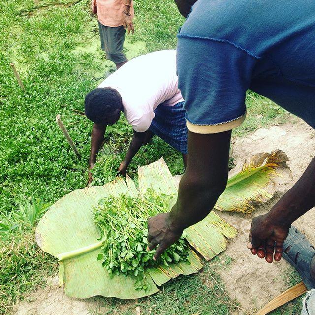 Fresh watercress from the neighbors next to our school garden! #haiti #hopeforhaiti #agriculture #eatfresh #farmersfight