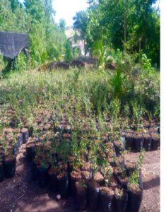 Cherry Tree Seedlings